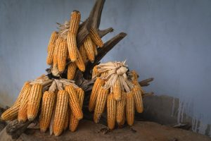 bunch of corns