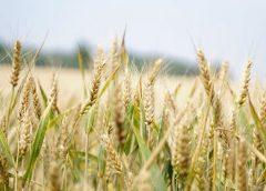 crops in a feild